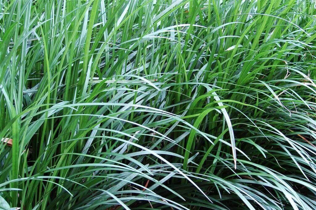 Mondo Grass plant